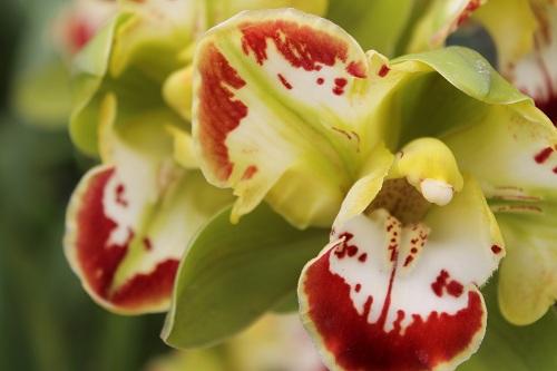 Orchidgreen