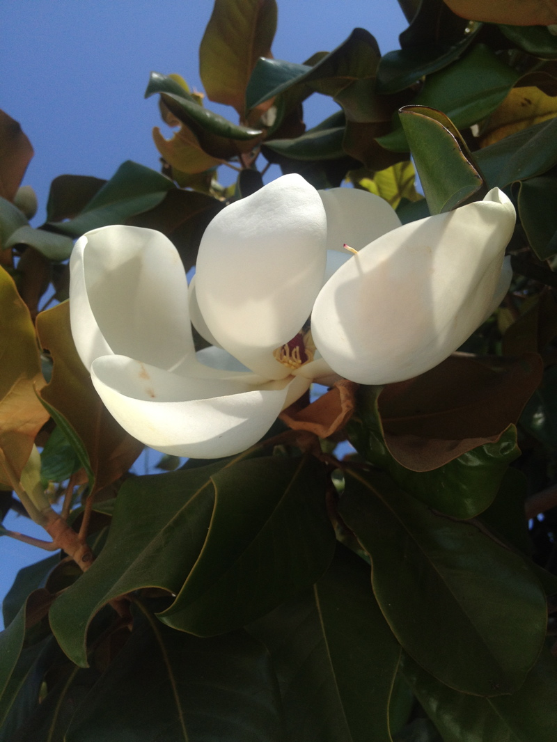 magnolia