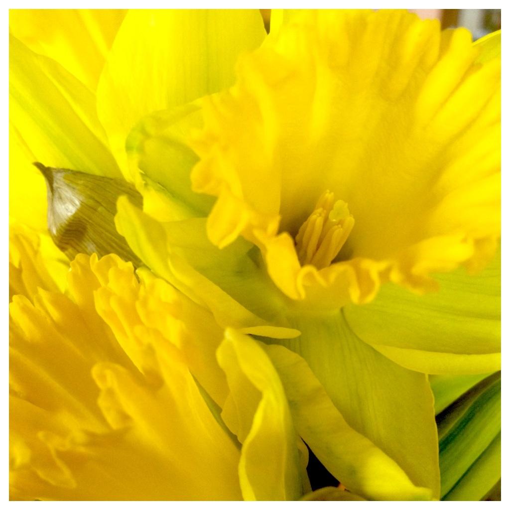 Diptic-13 daffodils 1